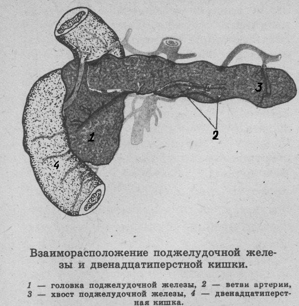 Взаиморасположение поджелудочной железы и двенадцатиперстной кишки